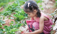 A young girl plucks a strawberry from the plant.