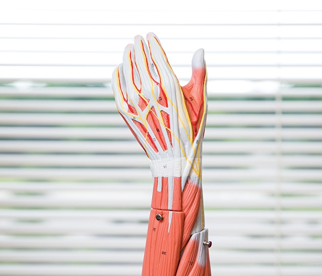 A model of the muscles in a human hand and forearm, part of the new physical therapy assistant program at Herzing University.